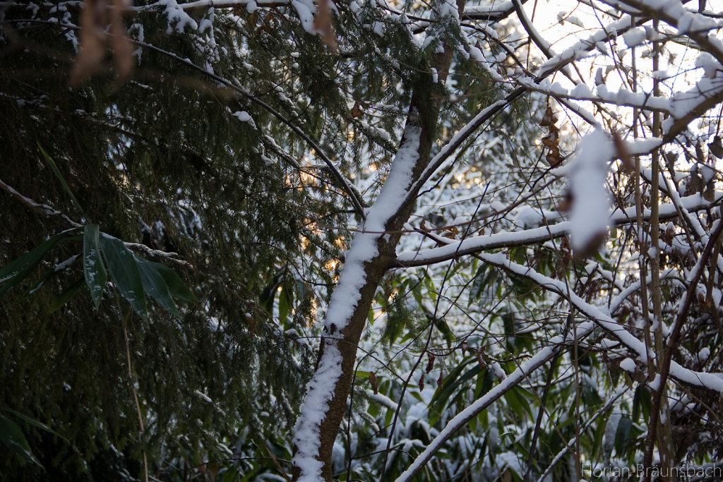 Snowed Trees